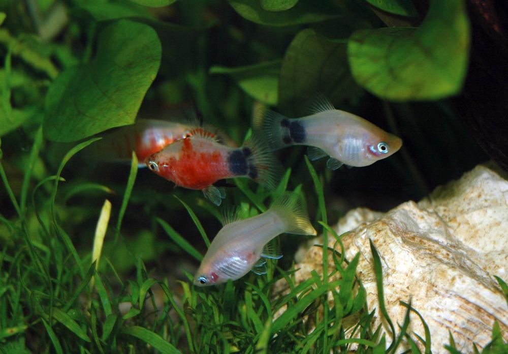 pesci in acquario di acqua dolce - guppy