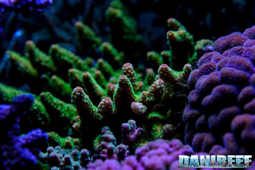 2015_01_DaniReef_Acquario_Massimiliano_Ghelfi_acropora, aspera, coralli, sps_16