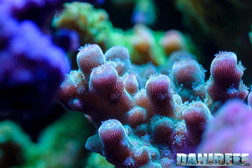 Polipi di Acropora in macro: la calcificazione dei coralli