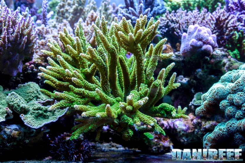 2015_01_DaniReef_Acquario_Massimiliano_Ghelfi_acropora, coralli, nobilis, sps_04