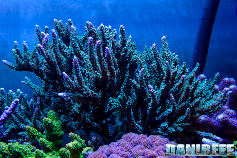 2015_01_DaniReef_Acquario_Massimiliano_Ghelfi_acropora, coralli, sps_17