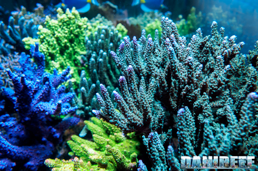 2015_01_DaniReef_Acquario_Massimiliano_Ghelfi_acropora, coralli, sps_90