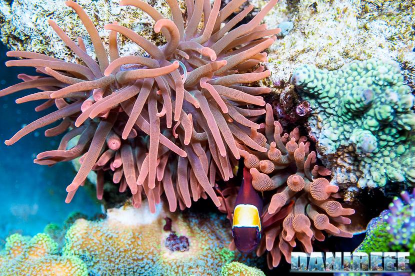 Come forzare i pagliacci a fare la simbiosi con l'anemone (o un corallo)