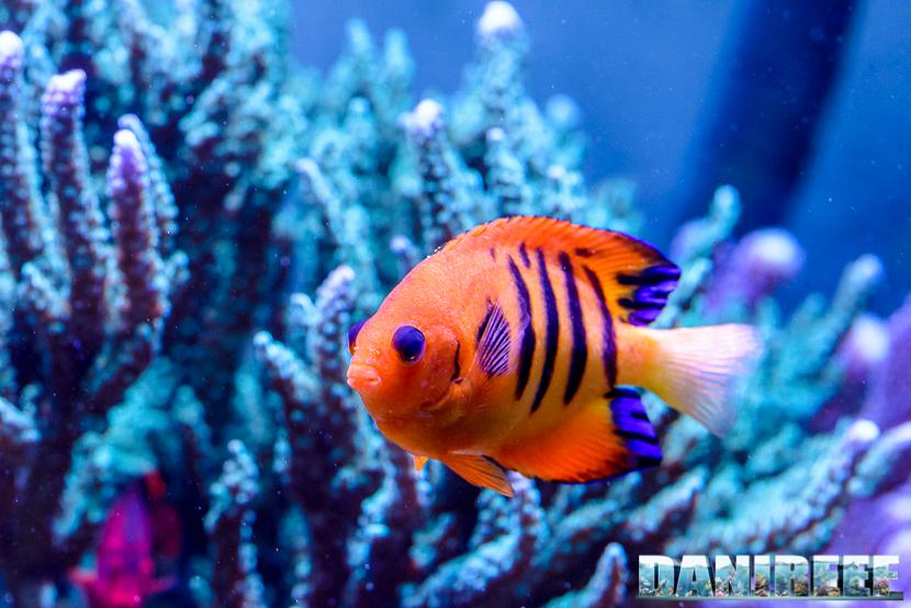 2015_01_DaniReef_Acquario_Massimiliano_Ghelfi_angelo, centropyge, loricula, pesci_50