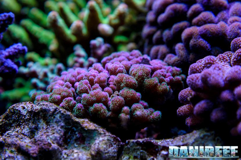 2015_01_DaniReef_Acquario_Massimiliano_Ghelfi_coralli, damicornis, pocillopora, sps_14