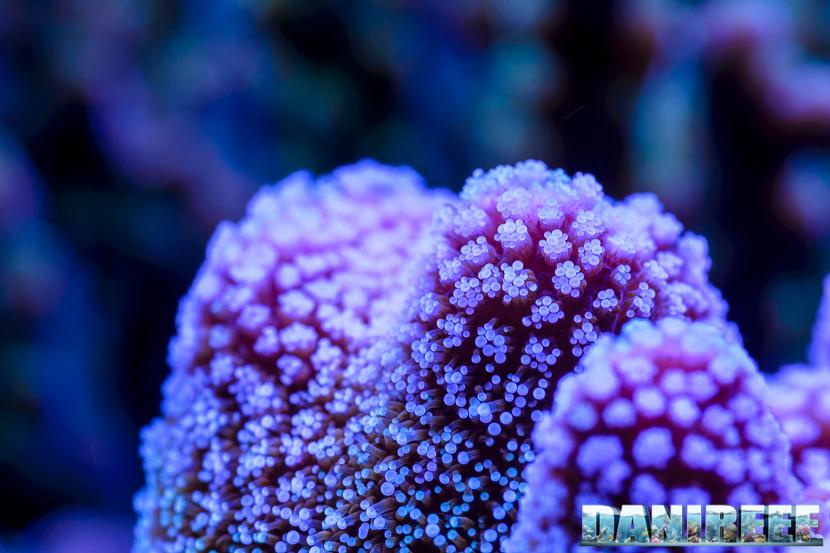 2015_01_DaniReef_Acquario_Massimiliano_Ghelfi_coralli, macro, sps_26