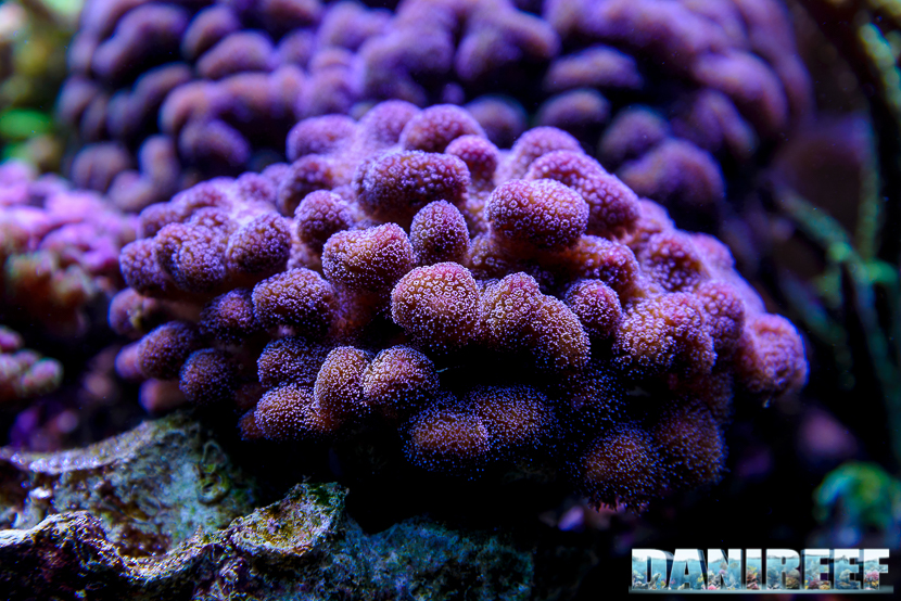 2015_01_DaniReef_Acquario_Massimiliano_Ghelfi_coralli, pistillata, sps, stylopora_15