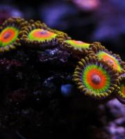 2015 03 coralli, molli, zoanthus rasta 01