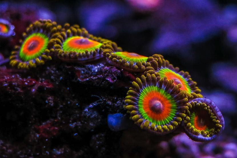2015 03 coralli, molli, zoanthus rasta 01-2