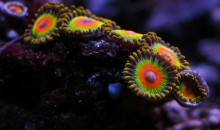 Coralli a crescita ultrarapida per popolare un acquario marino per principianti