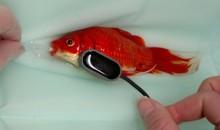Continuano gli atti d'amore verso i propri pesci, oggi verso un pesce rosso