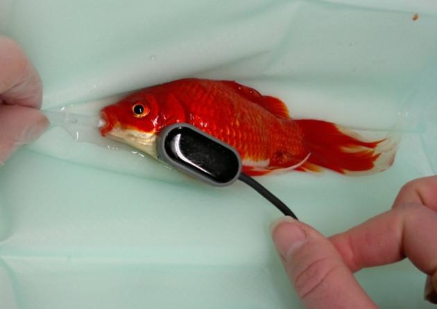 goldfish operato di cisti