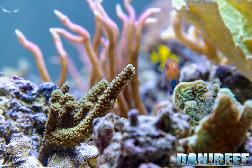 Acropora sp sotto la plafoniera a led CEAB Slide&Led