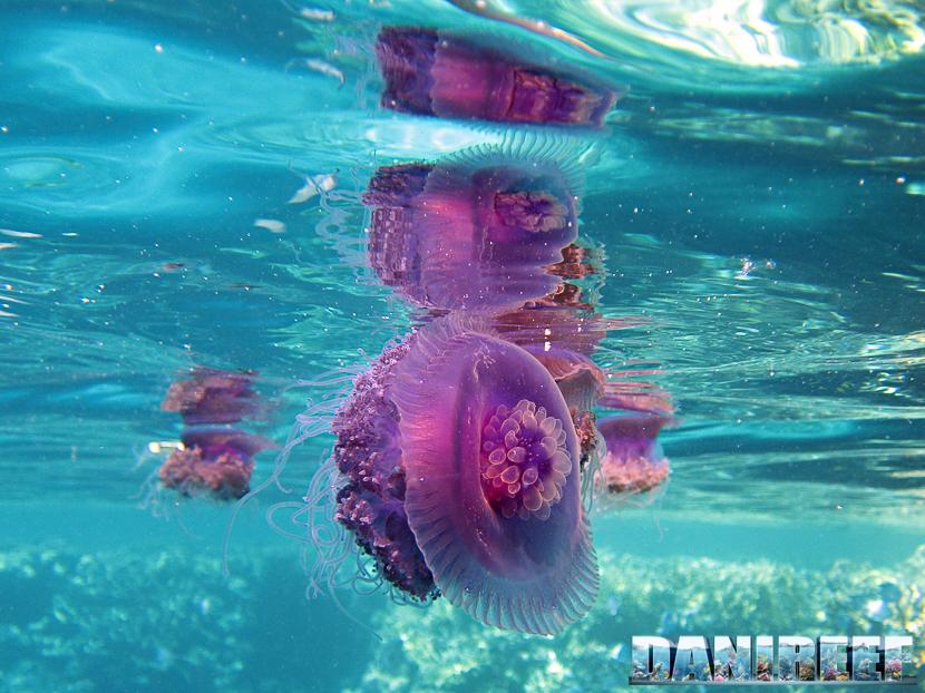 medusa in mar rosso