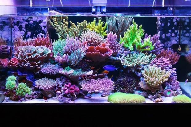 masanao-shibuya-sps-acropora-reef-tank-2-620x413