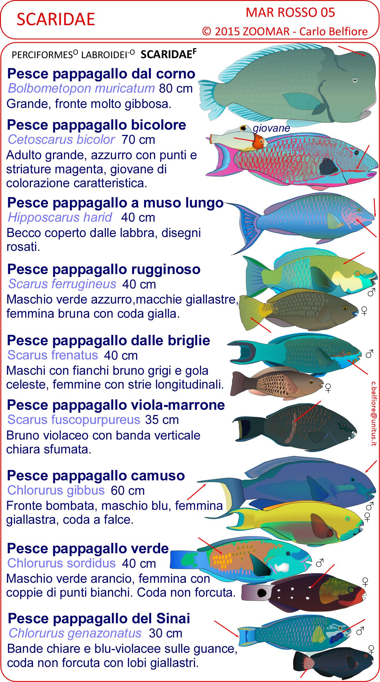 Le schede di identificazione dei pesci del mar rosso - Pagina di colorazione del pesce ...