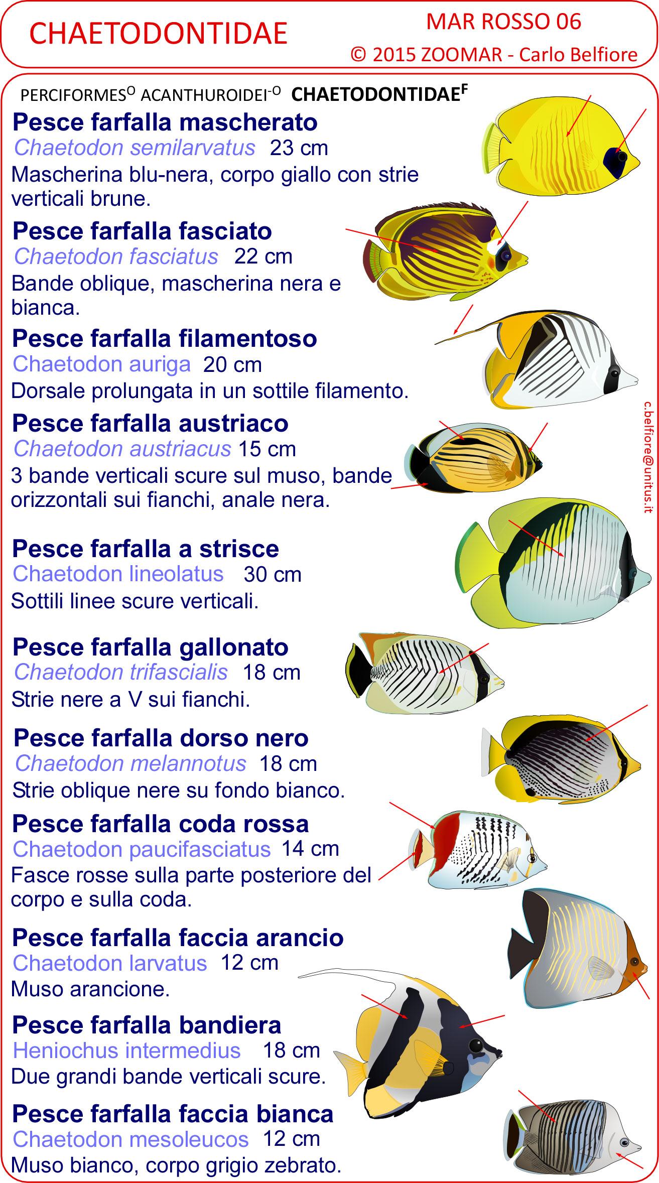 Le schede di identificazione dei pesci del mar rosso for Immagini di pesci disegnati