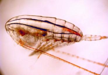 calanus-finmarchicus-620x465