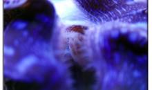 Tridacne davvero giganti nella grande barriera corallina australiana