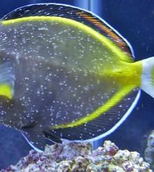 Come curare un pesce malato colpito da Cryptocaryon, Oodinium o similari