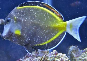 cryptocaryon irritans pesce chirurgo