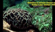 Conflitto fra coralli: Hydnophora che si mangia letteralmente una Platygyra