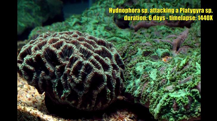 hydnophora-vs-platygyra