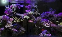 Un magnifico acquario Thailandese di SPS