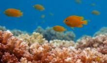 I pesci damigella attraggono un altro predatore quando in pericolo