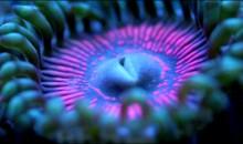 Zoanthus o Palythoa? Un bellissimo video tutto da vedere sulla loro classificazione