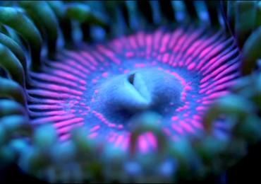 zoanthus-o-palythoa