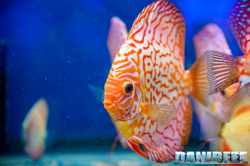 2015_10 petsfestival trd royal discus 02