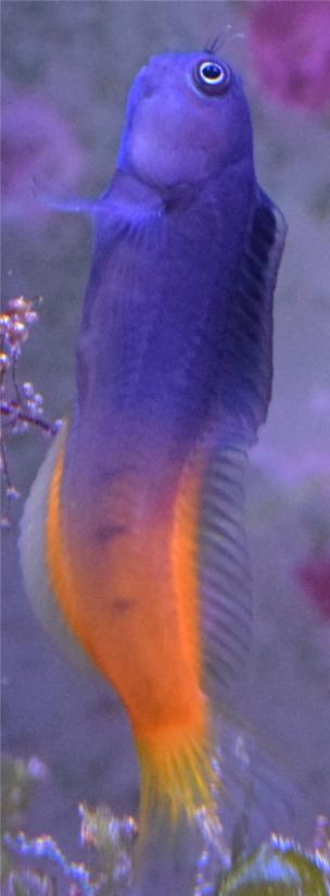 Ecsenius Bicolor Nuoto