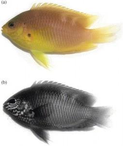 P.amboinensisUV
