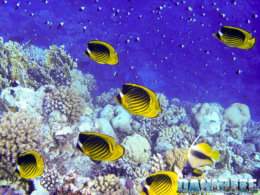 Pesci farfalla in Mar Rosso, Marsa Alam, Egitto
