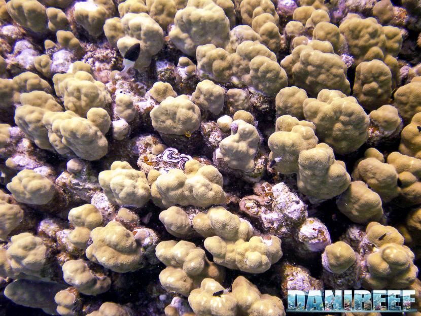 Porites cilindrica mar rosso