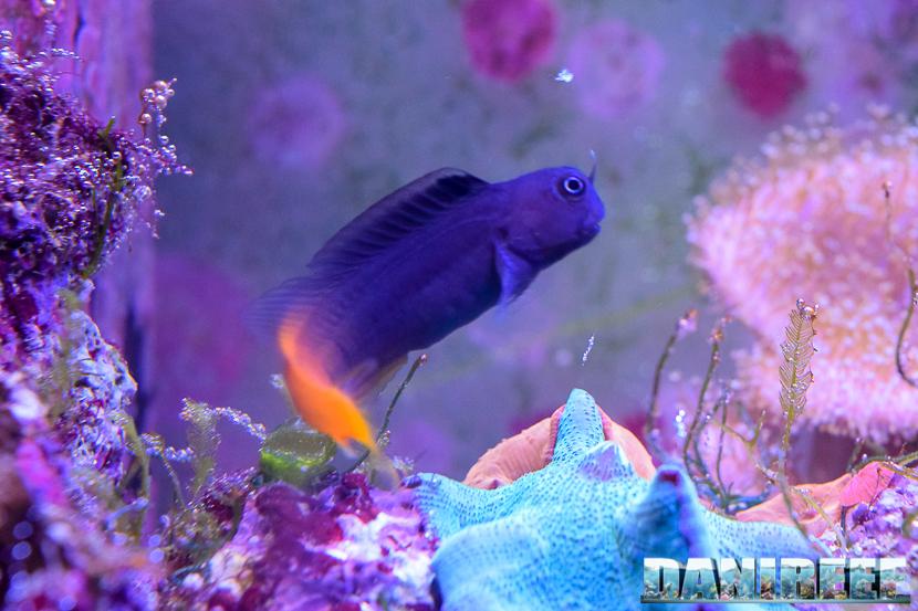 Il mio Ecsenius bicolor dopo qualche mese in acquario.