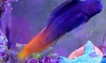 I pesci nei nanoreef hanno più probabilità di saltare fuori?