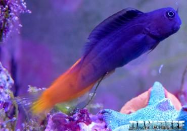 2015_11 ecsenius bicolor 09