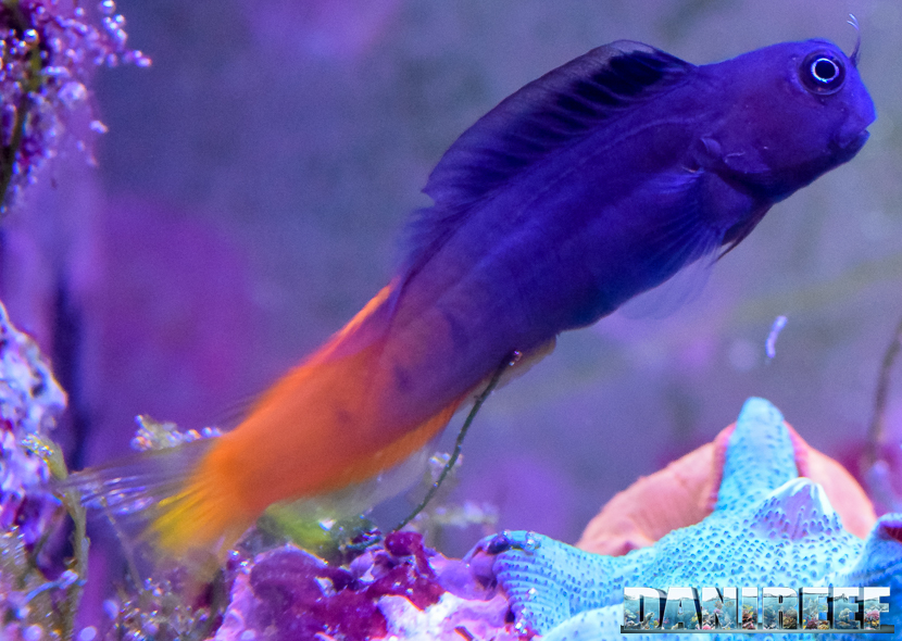 Ecsenius bicolor, pesce a rischio, per quanto riguarda il saltare fuori dalla vasca.