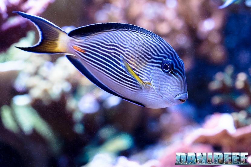 2015_12 Acanthurus sohal Acquario Marino Giuseppe Baldi 03