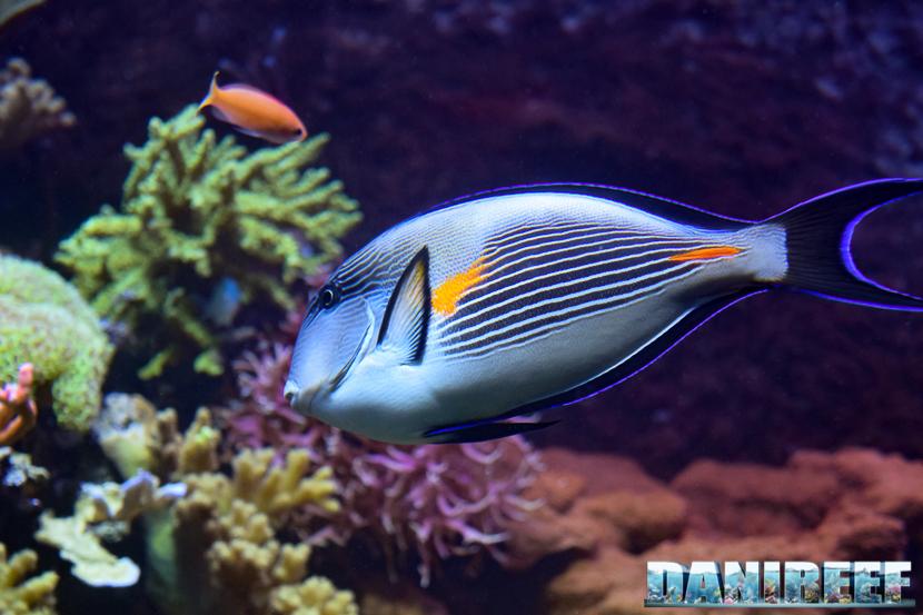 Acanthurus sohal al Madagascar Reef Aquarium dello Zoo di Zurigo