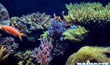 Una guida semplice per tenere un acquario marino di SPS