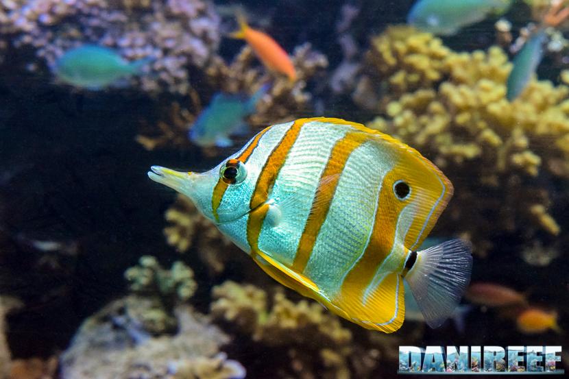 Il pesce farfalla Chelmon rostratus