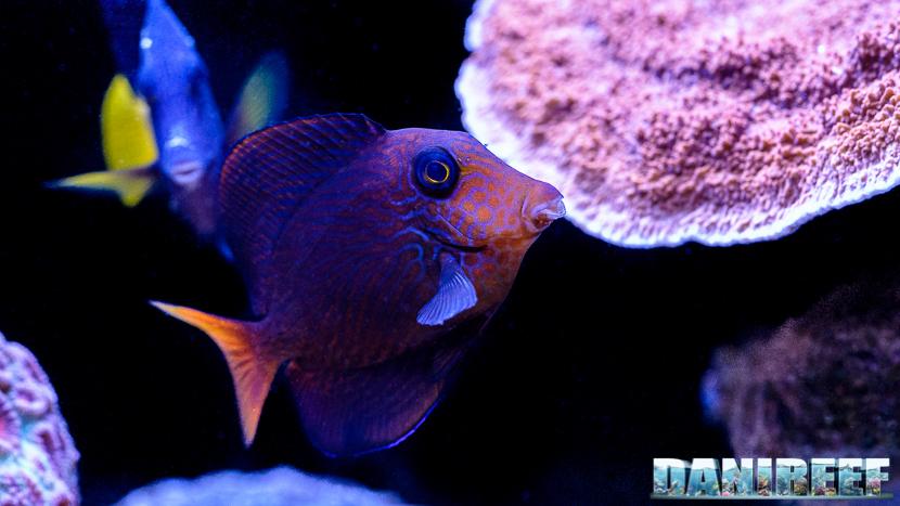 2015_12 Ctenochaetus hawaiiensis Acquario Marino Giuseppe Baldi 07