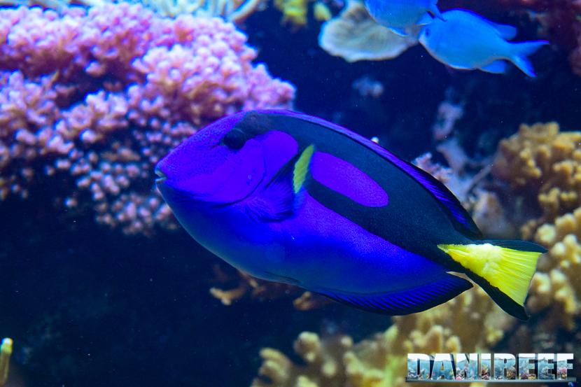 Paracanthurus hepatus (Pesce Chirurgo Blu) fotografato allo Zoo di Zurigo.