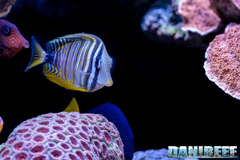 2015_12 Zebrasoma desjardinii Acquario Marino Giuseppe Baldi 05