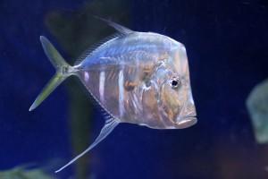 Pesce selene
