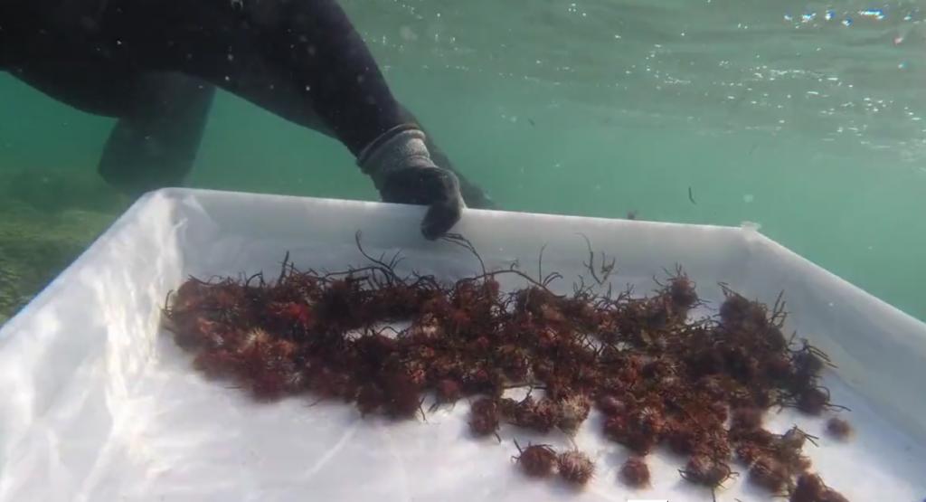300000 ricci nelle hawaii contro le alghe