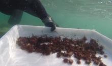 Hawaii: 300.000 ricci utilizzati per combattere una esplosione algale